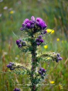 OrkneyThistle